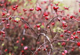Rosa mosqueta: proprietà cosmetiche